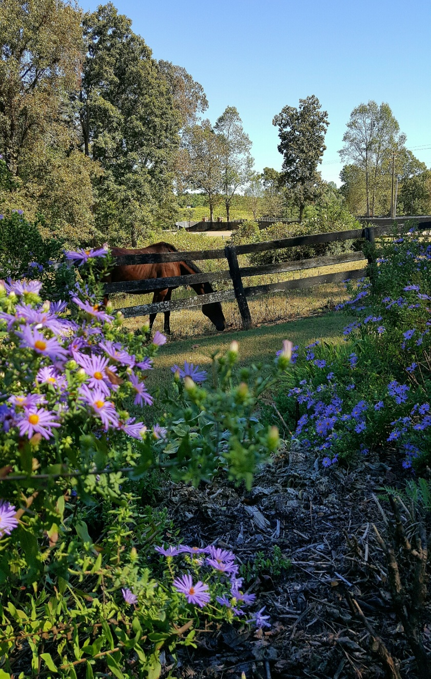 horses.asters.russian sage.10.2016